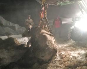 cow-rescue